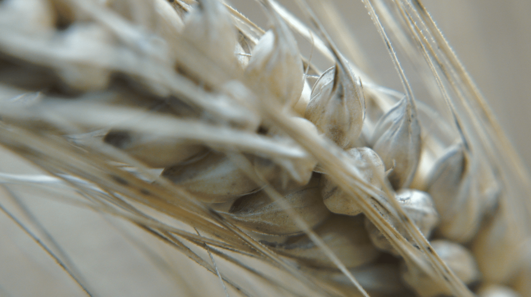 Epi blé en gros plan, bague macro
